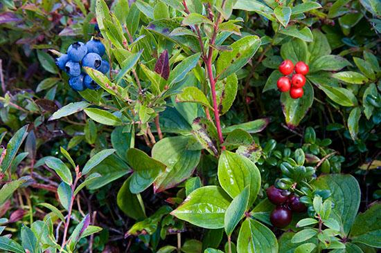 Blueberries, red Bunchberries and Partidge berries.