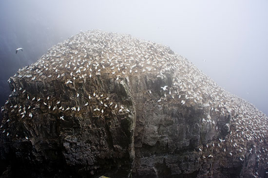 This is only the top, you can't see the seaward side which has the vast majority of the colony.