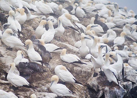 Northern Gannets-Wingspan 6 feet!
