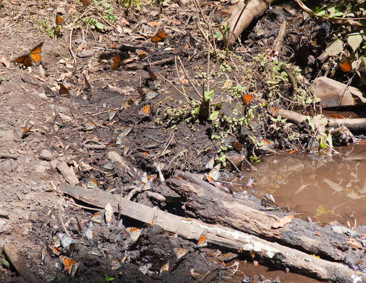 Monarch Butterflies sipping water and nutrients at one of the creeks along the dusty trail.