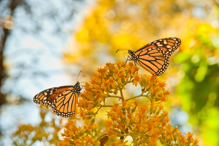 Two Monarchs partaking of a mid-day snack.